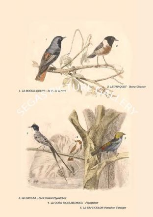 Black Redstart, Stone Chatter, Fork Tailed Flycatcher, Flycatcher, Paradise Tanager